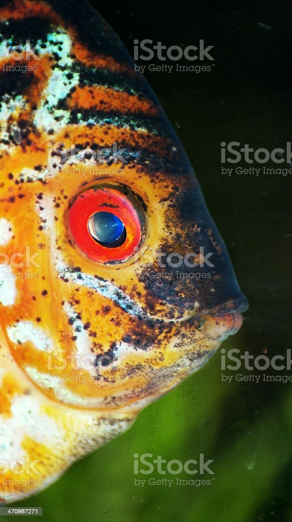 Discus fish close-up, nice eye royalty-free stock photo