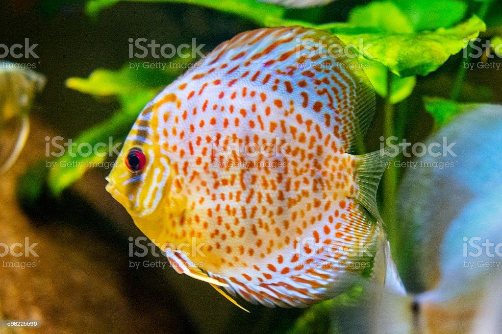 Disco de peixe no aquário foto royalty-free