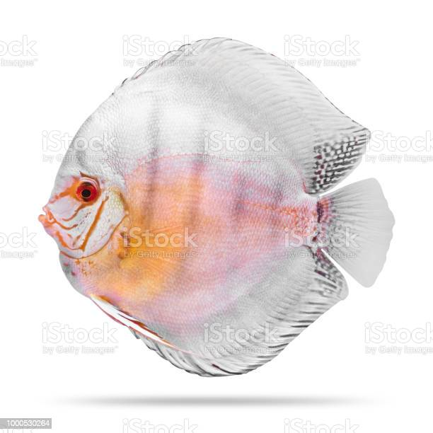 Discus fish isolated on white background picture id1000530264?b=1&k=6&m=1000530264&s=612x612&h=pqw6i10ddbeelpdjuazqukj95jkmivemo5yl4hvuszw=
