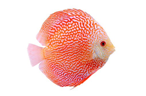 Spotted orange red discus fish isolated on white background