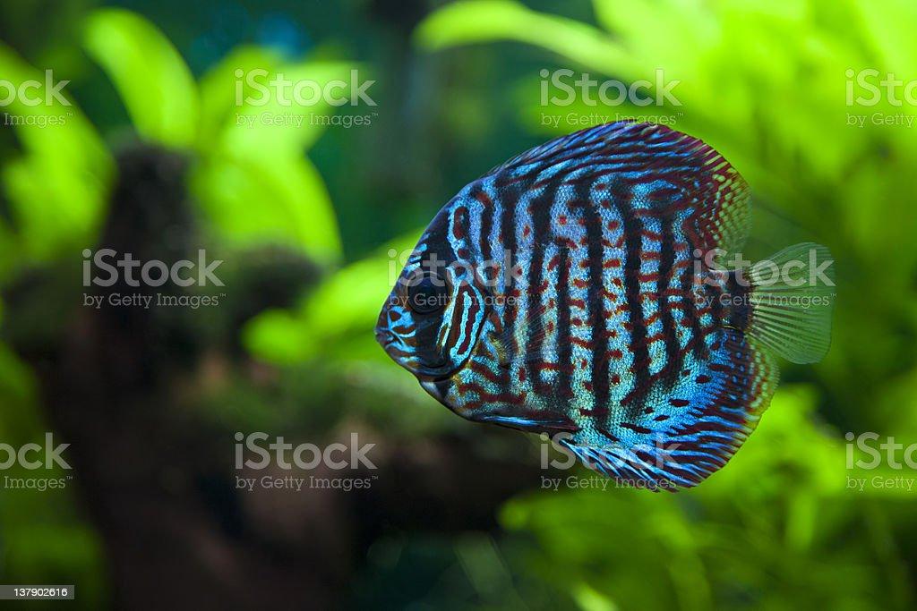 Discus Fish stock photo