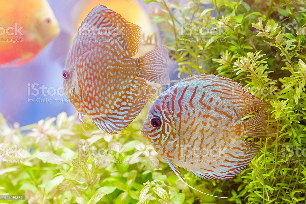 Discus fish (Symphysodon) swimming in an aquarium stock photo