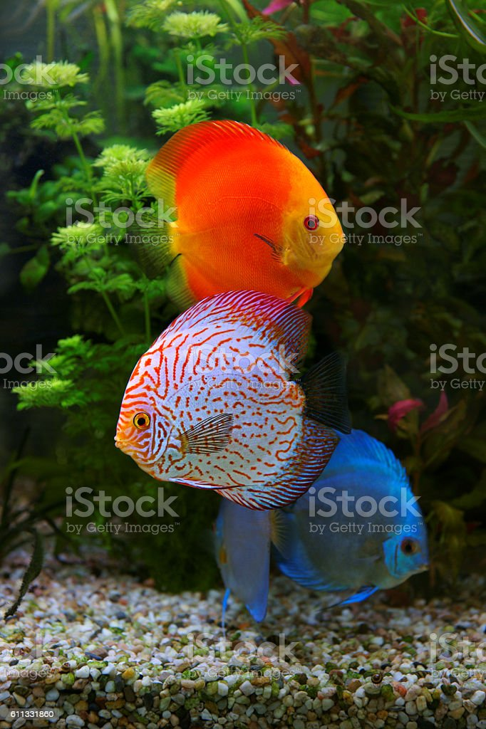 Discus (Symphysodon), multi colored cichlids in the aquarium stock photo