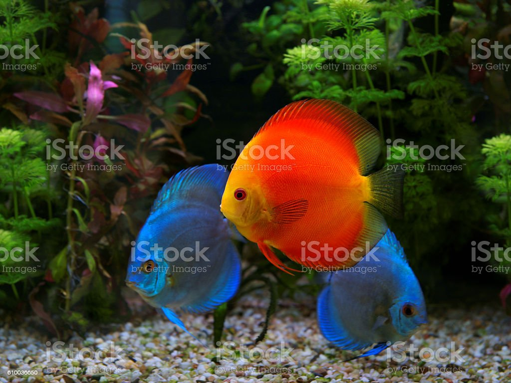 Discus (Symphysodon), multi-colored cichlid in the aquarium stock photo