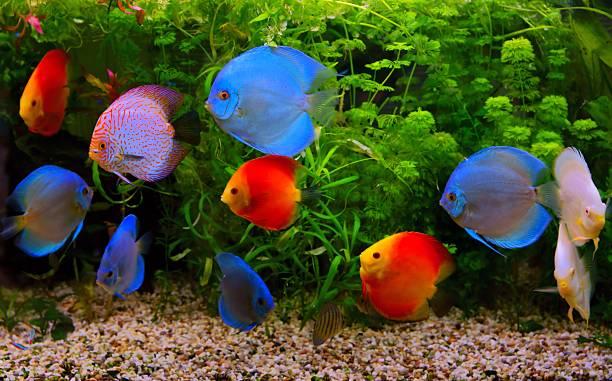 discus (symphysodon), multi-colored cichlids in the aquarium - home aquarium stock pictures, royalty-free photos & images