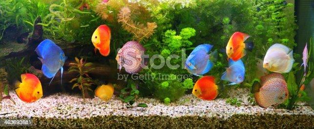 istock Discus (Symphysodon), multi-colored cichlids in the aquarium 463693681