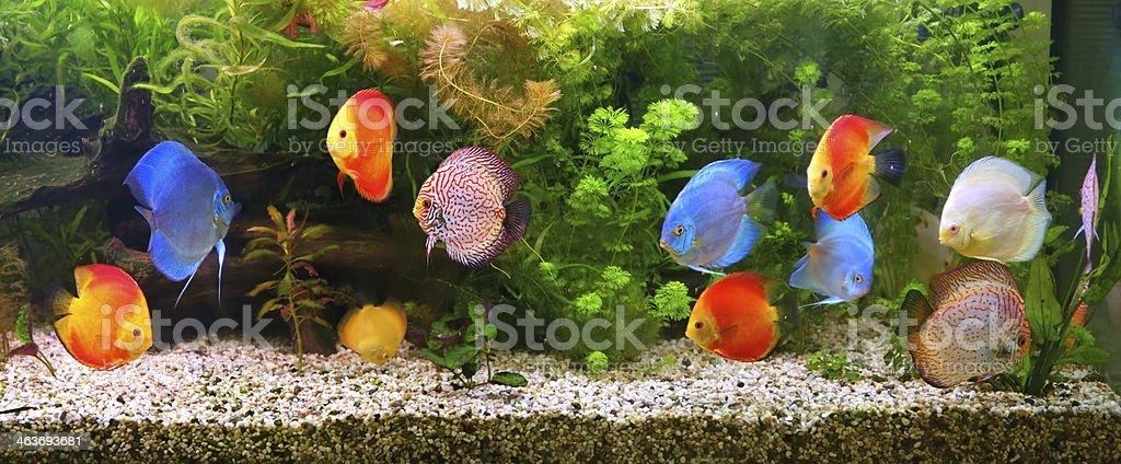 Discus (Symphysodon), multi-colored cichlids in the aquarium​​​ foto