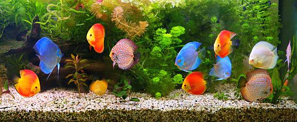 Discus (Symphysodon), multi-colored cichlids in the aquarium Discus (Symphysodon), multi-colored cichlids in the aquarium, the freshwater fish native to the Amazon River basin freshwater fish stock pictures, royalty-free photos & images
