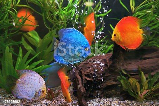 istock Discus (Symphysodon), multi-colored cichlids in the aquarium 478998992