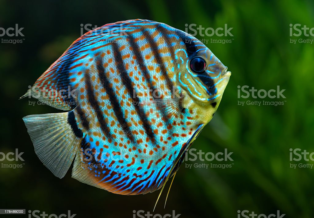 Discus, tropical decorative fish royalty-free stock photo