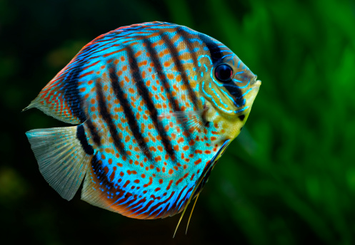 Discus Tropical Decorative Fish Stock Photo - Download Image Now