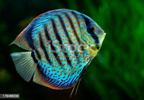 Discus Tropical Decorative Fish Stock Photo & More Pictures of Amazon Region