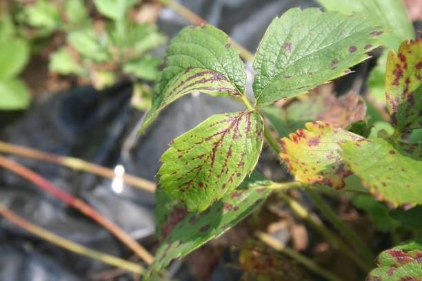 enfermedad en las hojas de fresa - gangrena fotografías e imágenes de stock