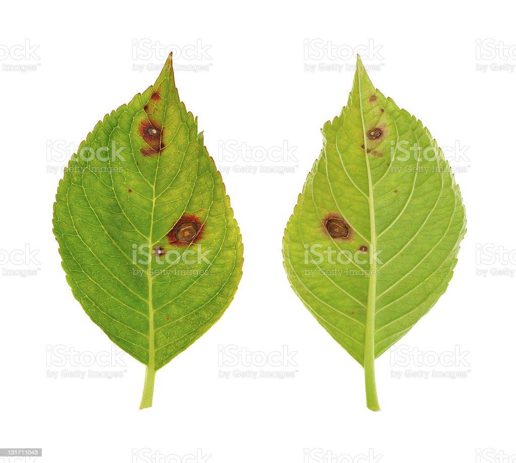 Diseased leaf of  Hydrangea serrata Blue Bird – fungus Cercospora stock photo