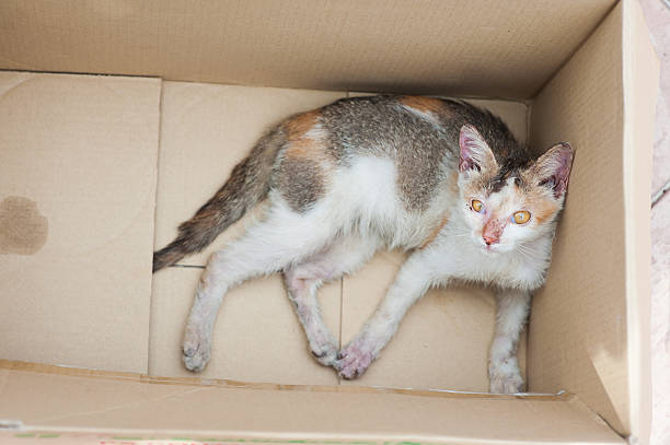 diseased stray cat being rescued stock photo