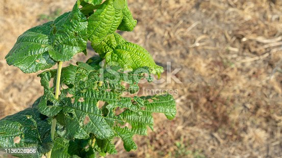 istock Diseases and pests of nuts and leaves of hazelnut bushes close-up. The concept of chemical garden protection. 1136026956