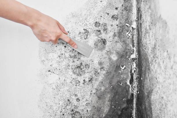Desinfektion von Schimmel. Eine Hand mit einem Spachtel entfernt den schwarzen Pilz von der weißen Wand. Aspergillus.