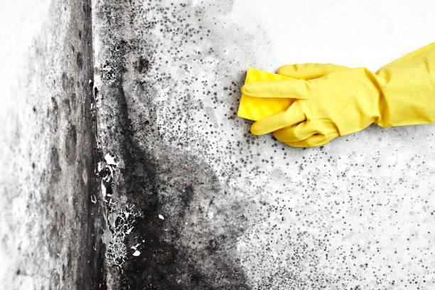 Desinfektion des Pilzes. Eine Hand in einem gelben Handschuh entfernt die schwarze Form von der Wand in der Wohnung mit einem Schwamm. Aspergillus.