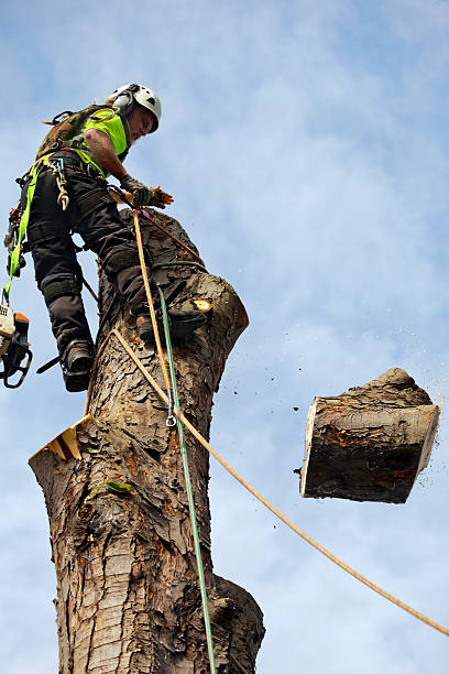 dismantling of tree trunk by tree surgeon - tree surgeon stock photos and pictures