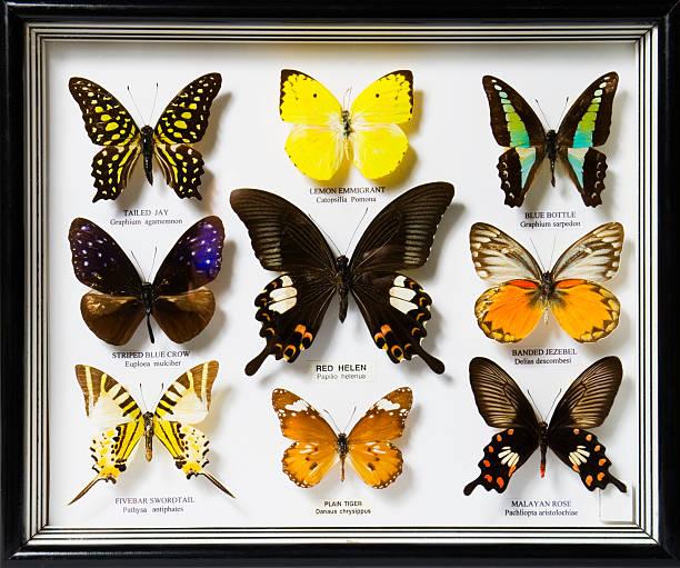 Display of nine different butterflies picture id114392138?b=1&k=6&m=114392138&s=612x612&w=0&h=saxsolpa0q7tgjbqx4odhdl4vgvu hkznlbuw4kfkiu=
