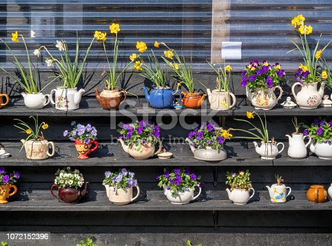 An imaginative display of spring pansies, narcissi and daffodils planted in old teapots on a sunny day in early May.
