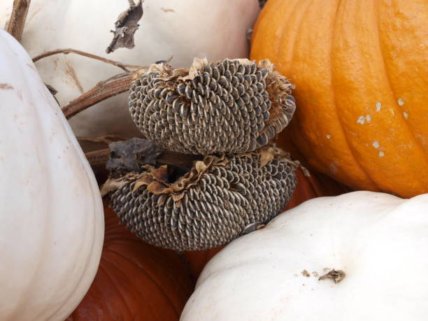Display Pumpkins, Squash and Sunflower Seed Pods stock photo
