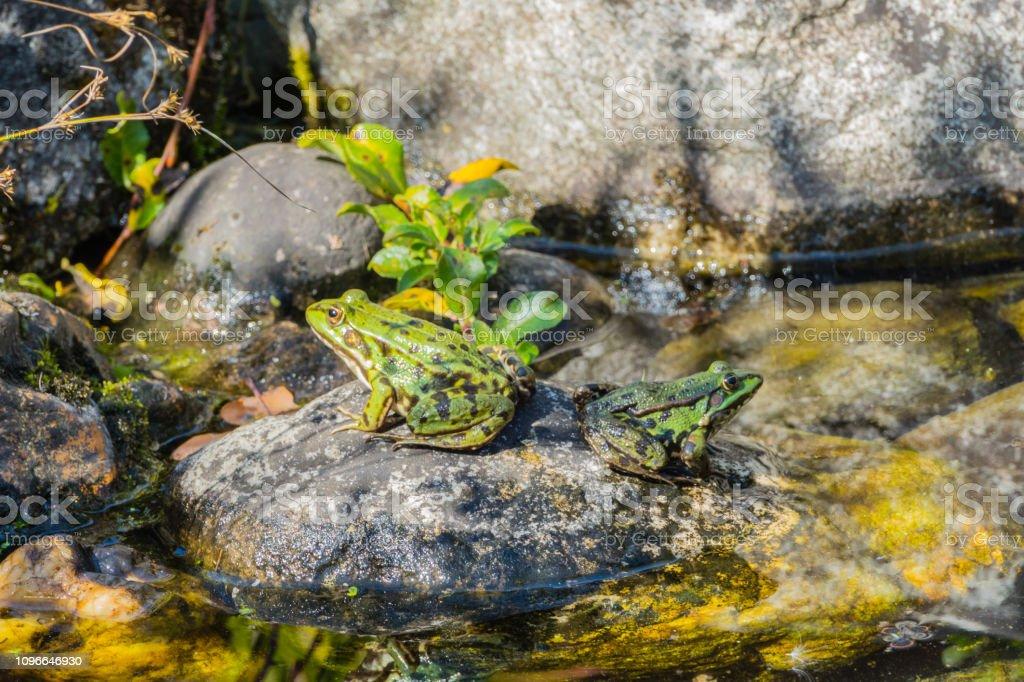 Dispute between Frogs stock photo