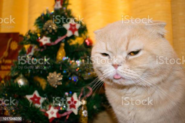 Dissatisfied angry cat with his tongue sticking out at the new year picture id1017046220?b=1&k=6&m=1017046220&s=612x612&h=i8olmtn 5urbkvltztrt1vv2myceomqmsmgcbk4m9jm=