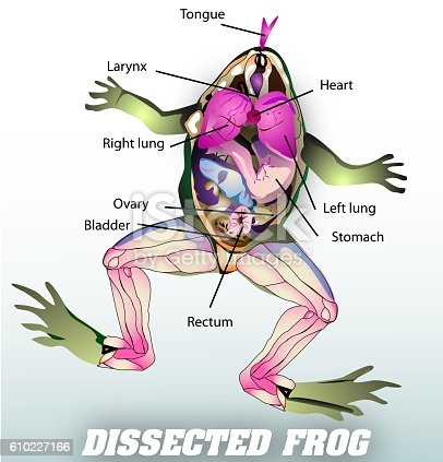 istock dissected frog 610227166