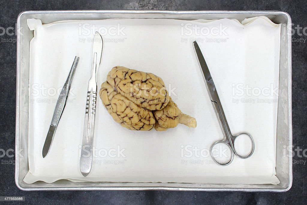 Dissection Of A Sheep Brain stock photo | iStock