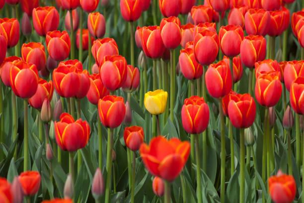 Dissimilar tulip stock photo