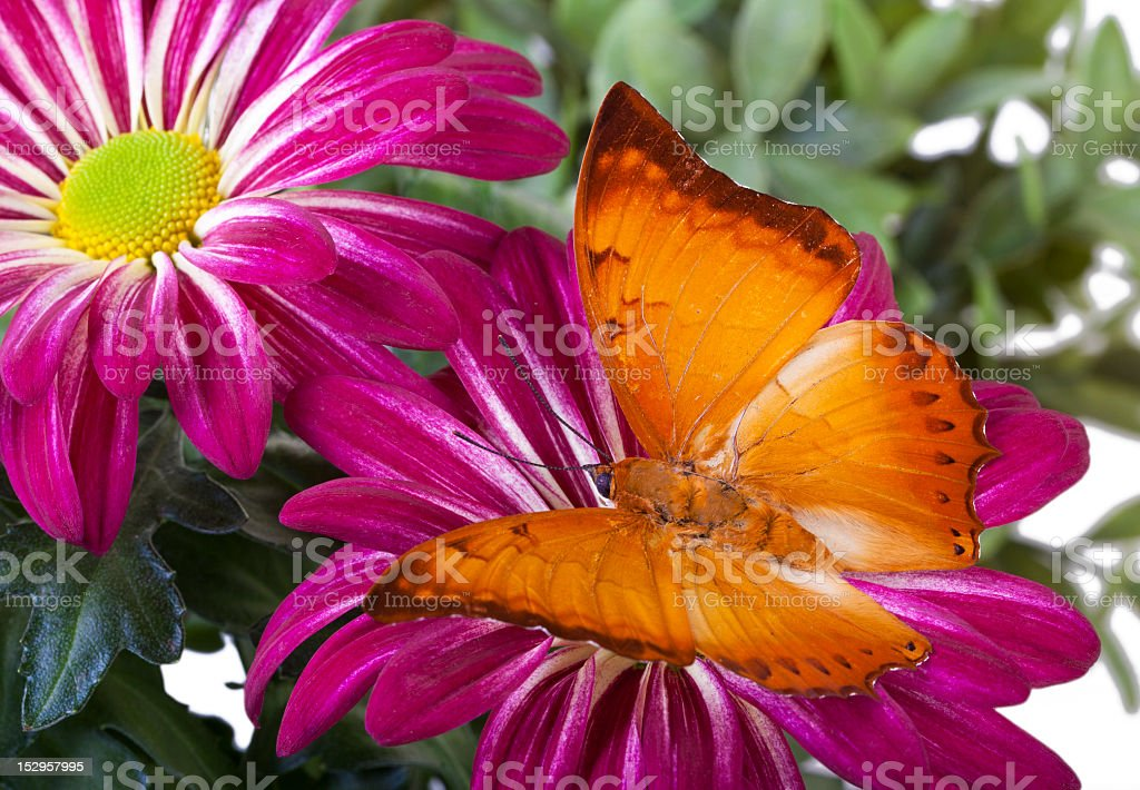 Bộ sưu tập cánh vẩy 4 - Page 19 Charaxes-distanti-butterfly-picture-id152957995