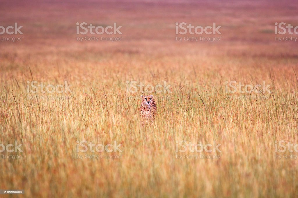 Distant cheetah in high grass stock photo
