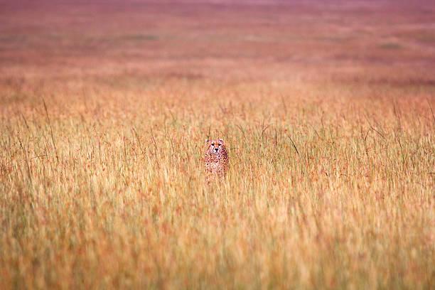 distanziert gepard in hohem gras - flecktarn stock-fotos und bilder