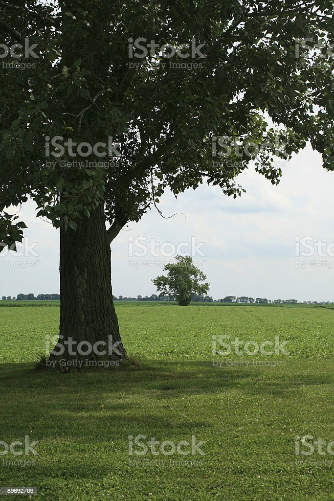 Distant Sycamore royalty-free stock photo