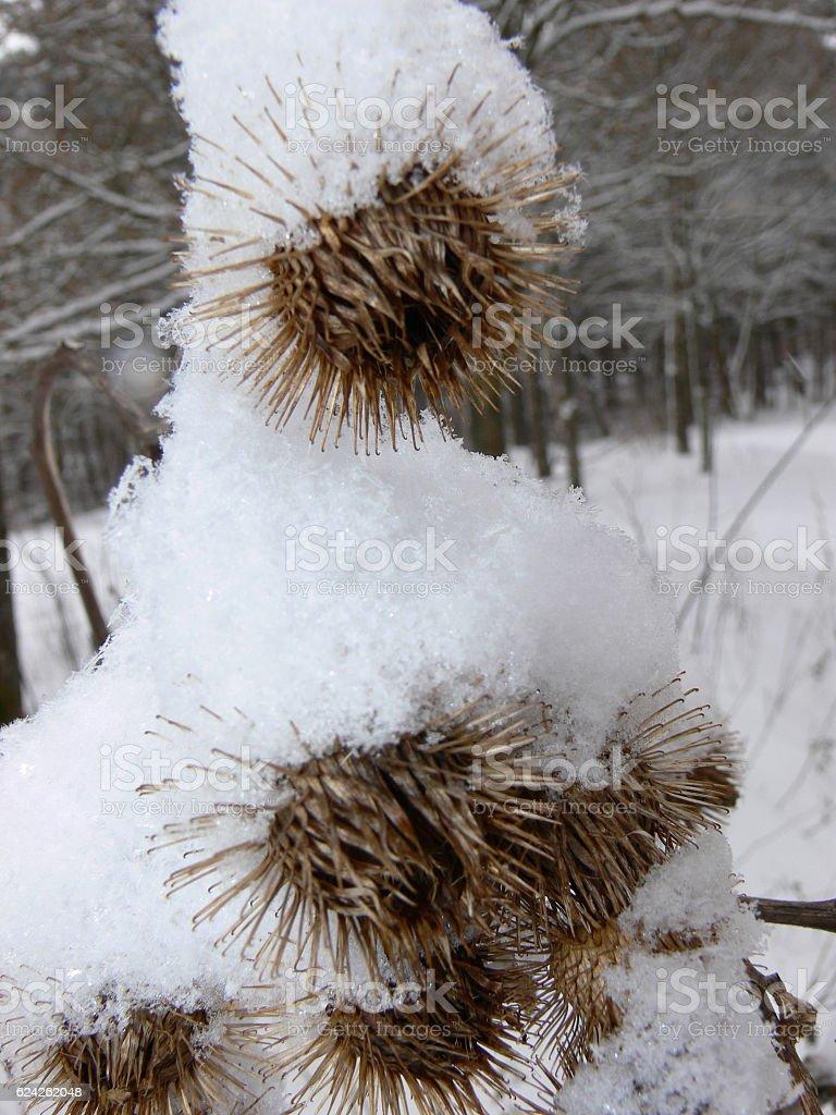Disteln mit Schneehaube stock photo