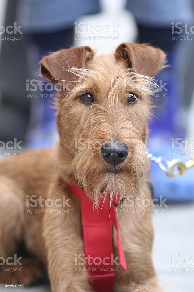 Distinct looking dog royalty-free stock photo