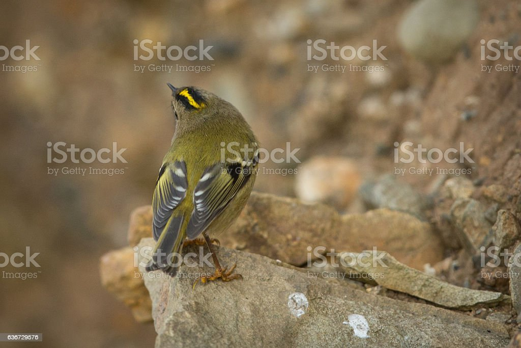 Distinctive markings of the Goldcrest. stock photo