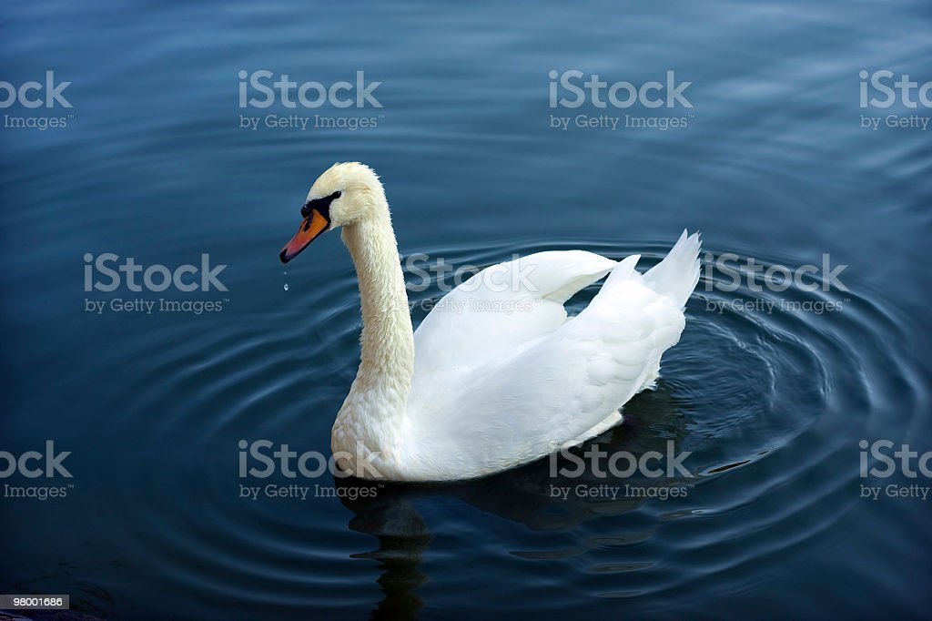 Distinguished beautiful swan royalty-free stock photo
