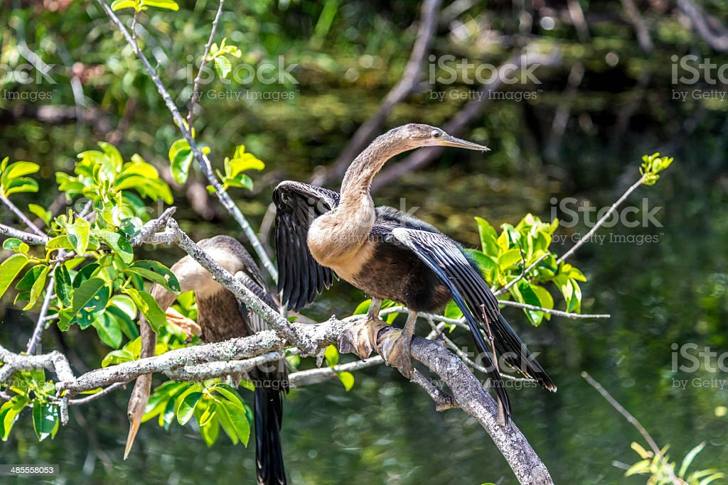 Distracted Anhinga stock photo