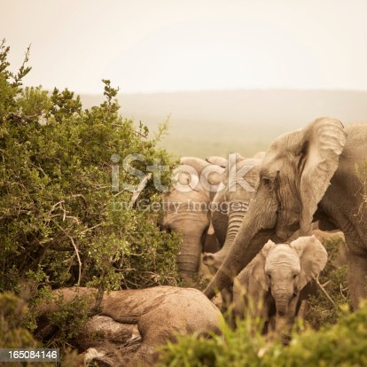 Distressed African Elephants mourning a dead family member with trunks extended