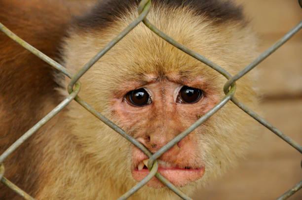A distressed monkey stock photo