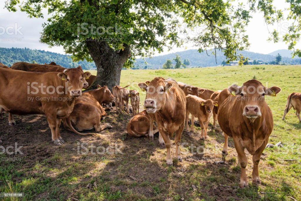 Disturbing the cow peace stock photo