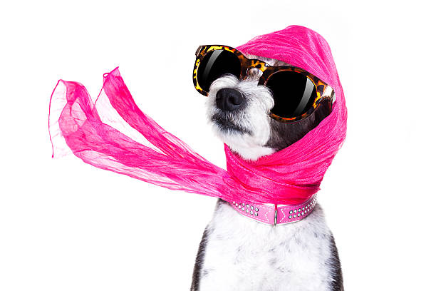 diva chic dog - flippige outfits stock-fotos und bilder
