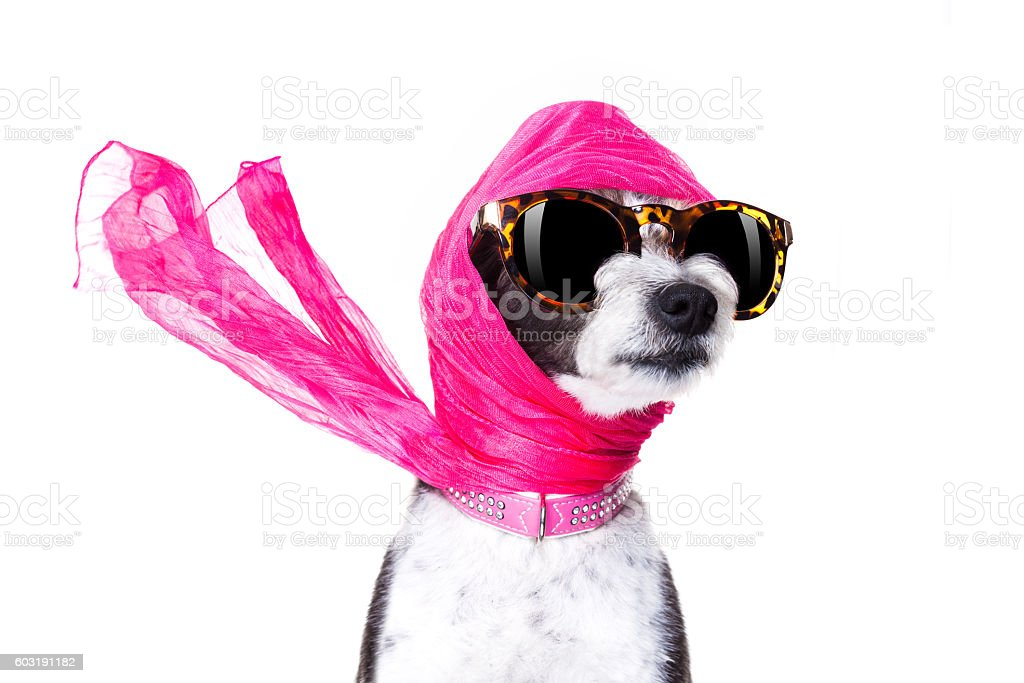 diva chic dog stock photo