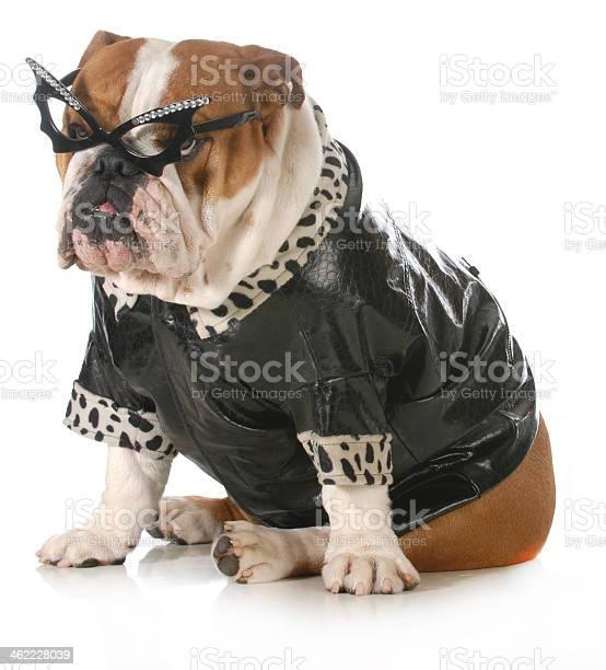 Diva dog picture id462228039?b=1&k=6&m=462228039&s=612x612&h=y22evsv9yo31dqsnecva ajhgjd00mjp3txdabyhmgg=