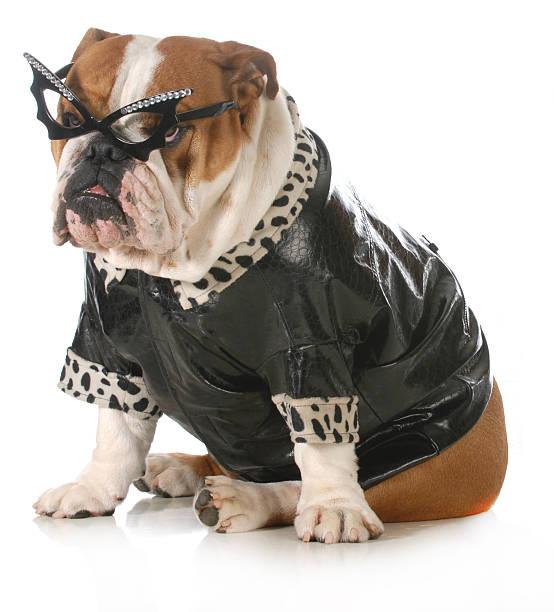Diva dog picture id462228039?b=1&k=6&m=462228039&s=612x612&w=0&h=45i qhs7 8zgkegv89ec7vau2iwawggd9o q9ssu pu=