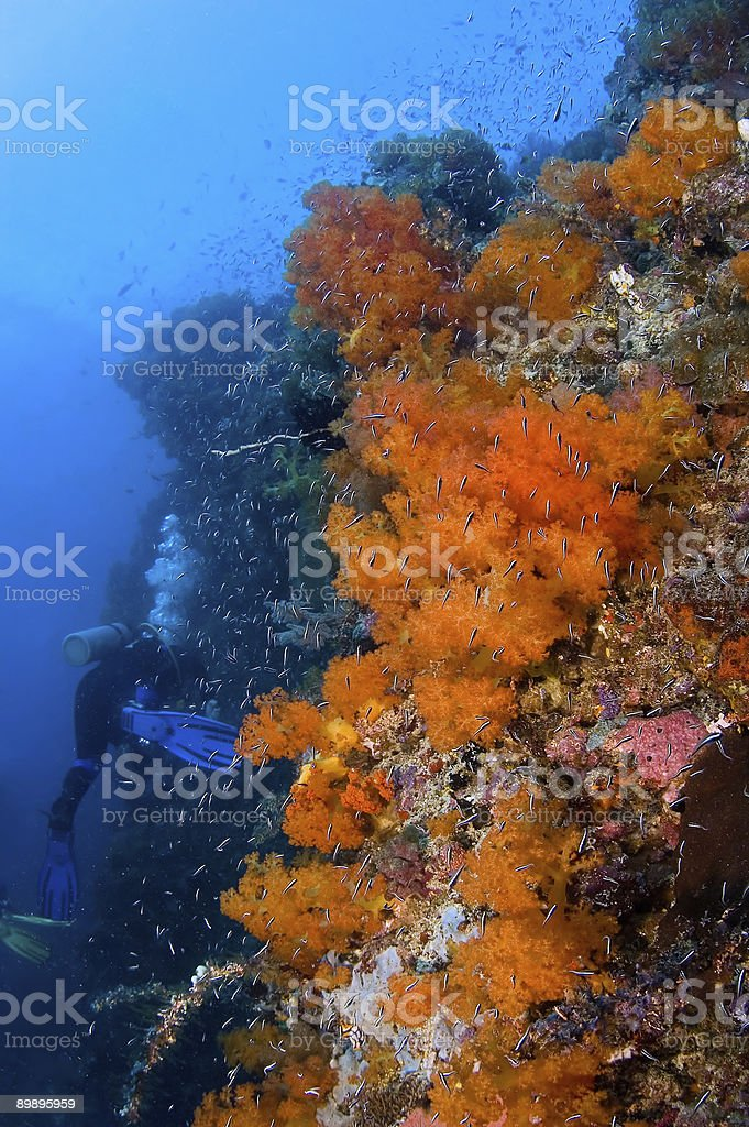 diver above big gorgonia and soft coral royalty-free stock photo