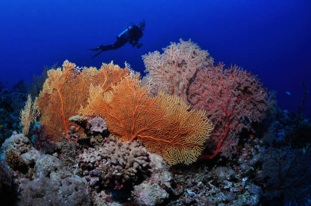 Diver and gorgonians, Townsville, Great Barrier Reef, Australia