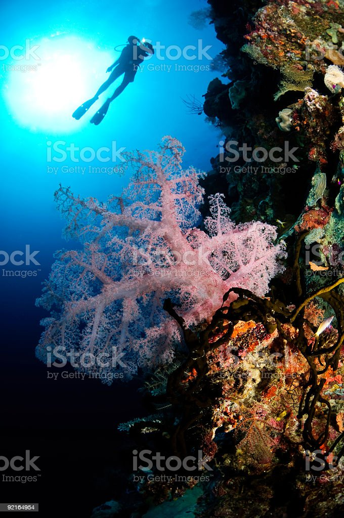 Diver and Pink Soft Coral royalty-free stock photo